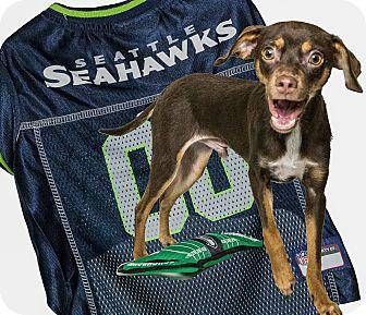 Miniature Pinscher Mix Puppy for adoption in Yelm, Washington - Baxter