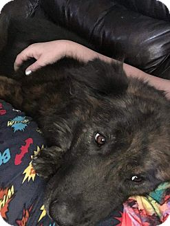 Belgian Tervuren/German Shepherd Dog Mix Dog for adoption in Reno, Nevada - Molly