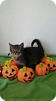 Domestic Shorthair Kitten for adoption in China, Michigan - Oak