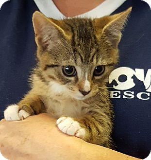 Domestic Shorthair Kitten for adoption in Wayne, New Jersey - Remington