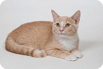 Domestic Shorthair Kitten for adoption in Lombard, Illinois - Marlin