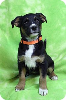 Shepherd (Unknown Type) Mix Puppy for adoption in Westminster, Colorado - NOLA