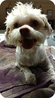 Maltese/Poodle (Miniature) Mix Dog for adoption in San Diego, California - Bentley