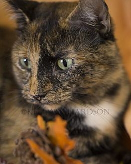 Domestic Shorthair Cat for adoption in Oviedo, Florida - Juda the Majestic Tortie