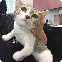 Domestic Mediumhair Kitten for adoption in San Antonio, Texas - A442334