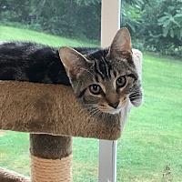 Adopt A Pet :: Madeline - Carlisle, PA