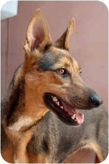 German Shepherd Dog/Greyhound Mix Dog for adoption in Los Angeles, California - Lena