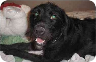 Labradoodle/Poodle (Standard) Mix Dog for adoption in Gilbert, Arizona - Pearl