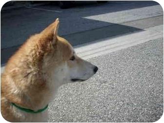 Shiba Inu Dog for adoption in Monrovia, California - Dog #1