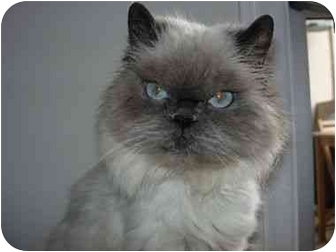 Himalayan Cat for adoption in Beverly Hills, California - Collette