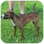 Photo 2 - Italian Greyhound/Rat Terrier Mix Dog for adoption in Bloomsburg, Pennsylvania - Gertie