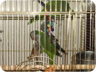 Parakeet - Quaker for adoption in Vancouver, Washington - 2 Wild Quakers seek expercn hm