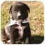 Photo 2 - Labrador Retriever Mix Puppy for adoption in Cranford, New Jersey - Blake