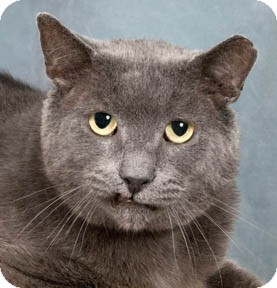 Russian Blue Cat for adoption in Chicago, Illinois - Earl Grey