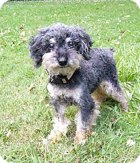 Poodle (Miniature)/Yorkie, Yorkshire Terrier Mix Dog for adoption in Mocksville, North Carolina - Blue