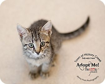 Domestic Shorthair Kitten for adoption in Hickory Creek, Texas - Nutmeg