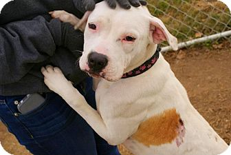 American Pit Bull Terrier Mix Dog for adoption in Yuba City, California - 12/10 Macey