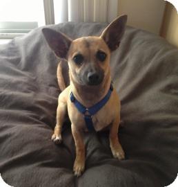Chihuahua Mix Dog for adoption in Tucson, Arizona - Rose