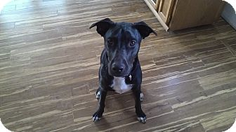 Labrador Retriever/Border Collie Mix Puppy for adoption in Evergreen, Colorado - Chobani