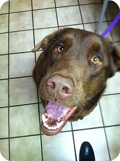 Labrador Retriever Dog for adoption in Knoxville, Tennessee - Nook