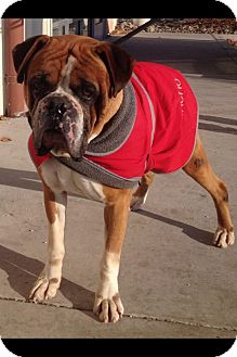 Boxer Dog for adoption in Reno, Nevada - Chester