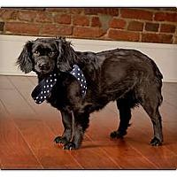 Adopt A Pet :: Daphne - Owensboro, KY