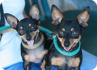 Miniature Pinscher Dog for adoption in Canoga Park, California - Mia