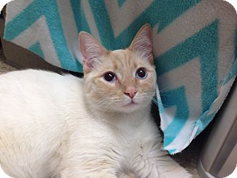 Siamese Cat for adoption in Foothill Ranch, California - Flurry