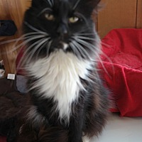 Domestic Longhair Cat for adoption in San Pablo, California - EMIL