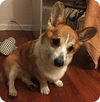 Welsh Corgi Mix Dog for adoption in Encino, California - Simon - Courtesy Post