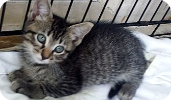 Domestic Shorthair Kitten for adoption in Tampa, Florida - Timba