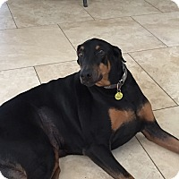Adopt A Pet :: Male Doberman - Scottsdale, AZ