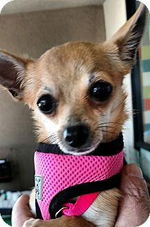 Chihuahua Mix Dog for adoption in San Diego, California - Tina