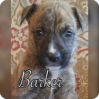 Plott Hound/Anatolian Shepherd Mix Puppy for adoption in White Settlement, Texas - Barker