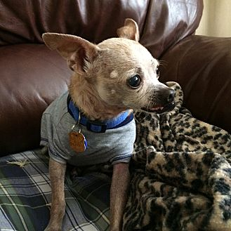 Chihuahua Dog for adoption in Lehigh, Florida - Jasper