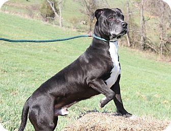 Pit Bull Terrier/Boxer Mix Dog for adoption in Marietta, Ohio - Leon (Neutered)-New Photos