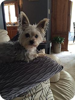 Yorkie, Yorkshire Terrier Dog for adoption in St. Paul, Minnesota - Rika - No Longer Accepting Applications