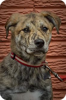 Husky/Boxer Mix Puppy for adoption in Detroit, Michigan - Lennox-Adopted!