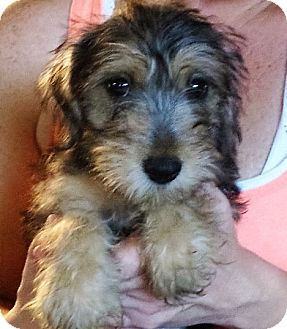 Schnauzer (Miniature) Mix Puppy for adoption in Allentown, Pennsylvania - Nora