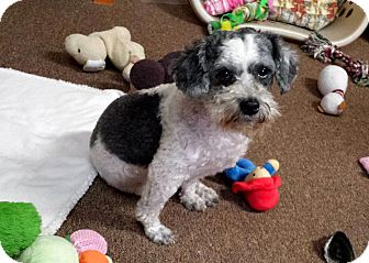 Poodle (Miniature)/Shih Tzu Mix Dog for adoption in Sumter, South Carolina - MILLS