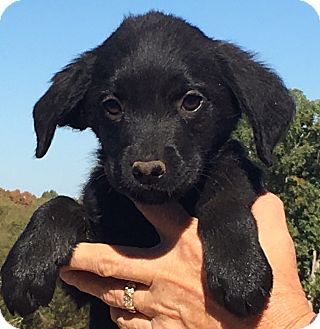 Labrador Retriever/Husky Mix Puppy for adoption in Spring Valley, New York - Hazel