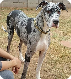 Great Dane Dog for adoption in Phoenix, Arizona - Ian