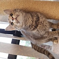 Adopt A Pet :: Nibbles - Youngsville, NC
