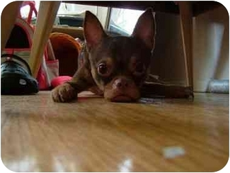 Chihuahua/Pug Mix Dog for adoption in Long Beach, New York - Gizmo