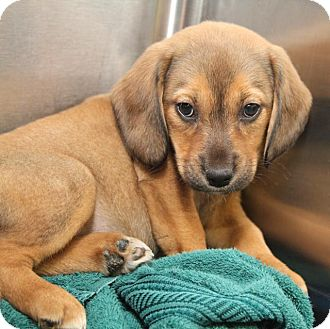 Beagle Mix Puppy for adoption in Milford, New Jersey - Daiquiri