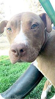 Pit Bull Terrier Dog for adoption in Forest grove, Oregon - Delilah