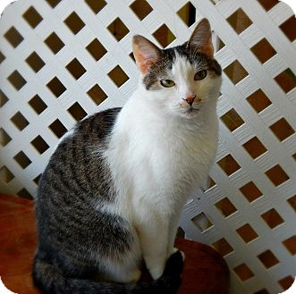 Domestic Shorthair Cat for adoption in Austintown, Ohio - Milly