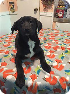 Labrador Retriever/Labrador Retriever Mix Puppy for adoption in Cranford, New Jersey - Destiny