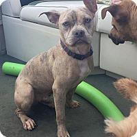 Adopt A Pet :: Dobby - Atlanta, GA