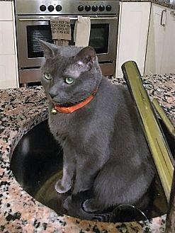 Russian Blue Cat for adoption in Atlanta, Georgia - Skyler